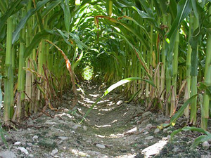 cornfield-main